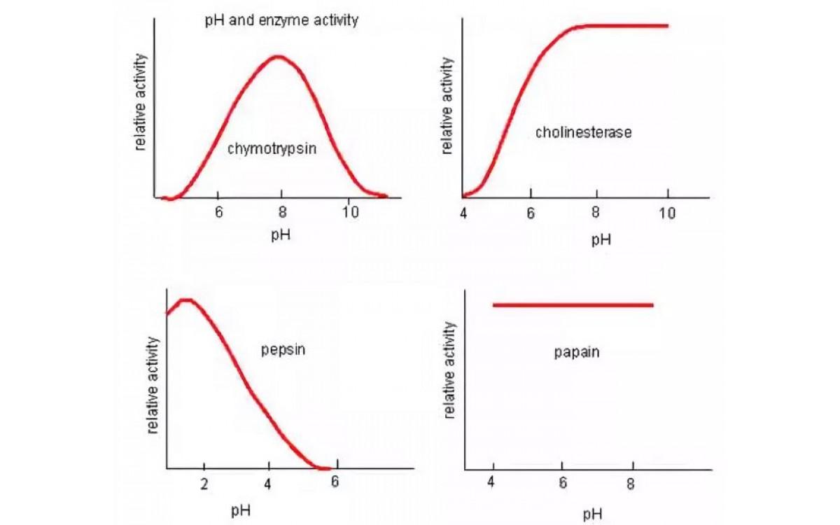Влияние внешних факторов на активность ферментов. ..